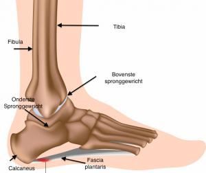 antomie voet