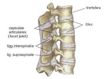 ligamentum supraspinale